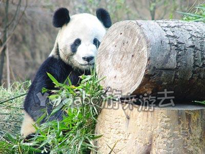 四川大熊猫