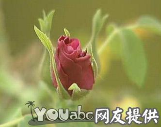甘肃永登苦水玫瑰